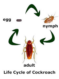 cockroach-life-cycle-1-225x300